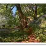 Bluebells in Bloom. Redburn Country Park